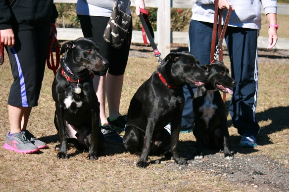 "The ""Black Dog"" club.  All gorgeous.  All saved from shelters where their coloring could have lead to their demise."