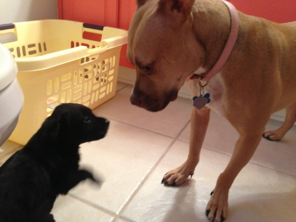 puppy and pit bull