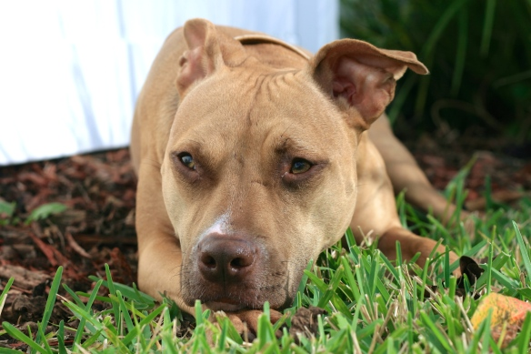 Maggie, a rescued pit bull, enjoying to comfort and safety of her forever home.