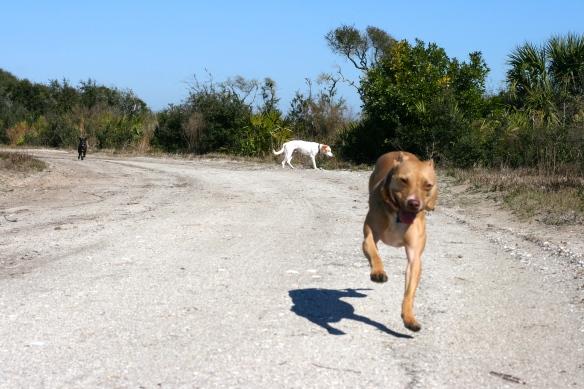 Happy Pit Bulls